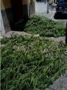 Plantação de maconha é encontrada em Xucuru, um homem foi preso