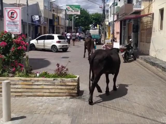 Vídeo: animais são flagrados pastando no Calçadão em Belo Jardim
