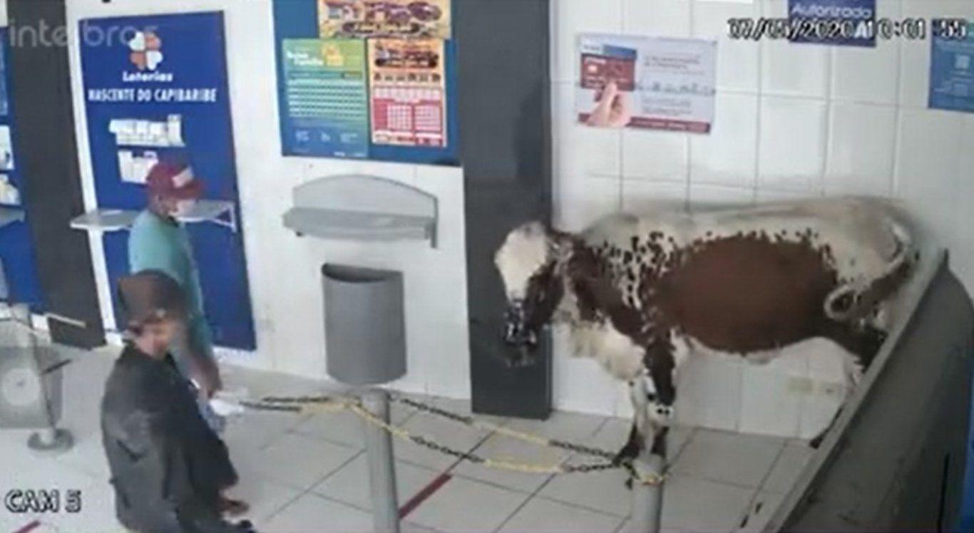 Vídeo: Boi invade lotérica no Agreste e assusta quem sacava auxílio emergencial