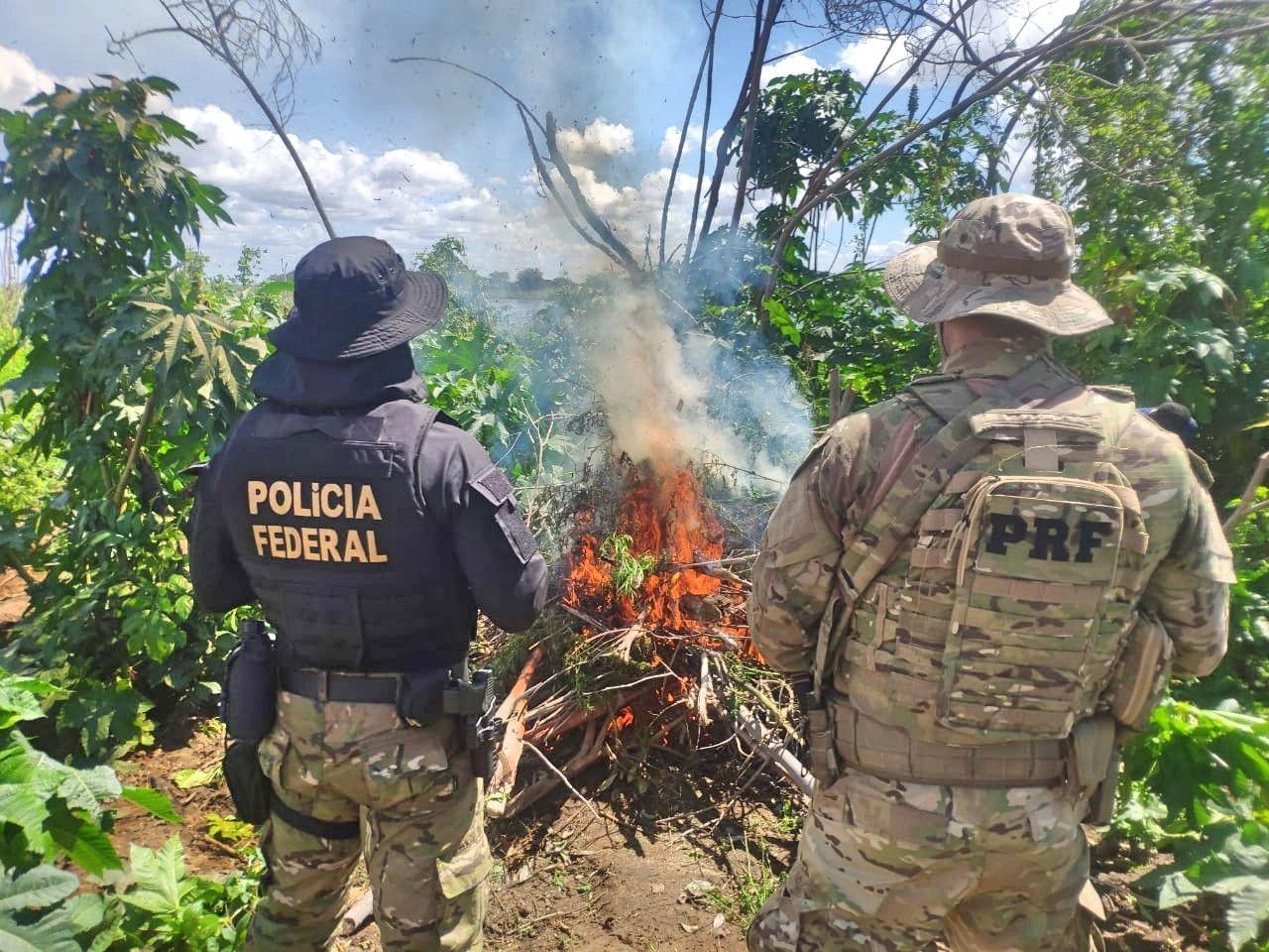 Polícia Federal erradica 538 mil pés de maconha no Sertão de Pernambuco