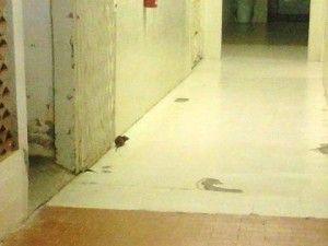Ratos no Hospital de Belo Jardim