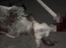 Animais soltos provocam acidentes em Belo Jardim