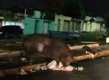 Moradores do Bom Conselho e do Viana & Moura da Br denunciam animais soltos nos bairros