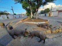 Porcos são flagrados soltos novamente na Avenida Bom Conselho em Belo Jardim