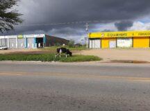 Animal solto é flagrado às margens da BR-232 em Belo Jardim