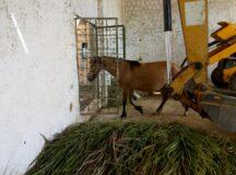 Prefeitura apreende cavalo solto no bairro do São Pedro em Belo Jardim