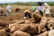 Parceria entre Executivo e entidades garantem valorização da Mandiocultura na comunidade quilombola do Barro Branco