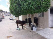 População denuncia animais soltos no bairro do Bom Conselho