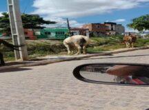 Motorista denuncia cavalos soltos no bairro Edson Mororó Moura em Belo Jardim