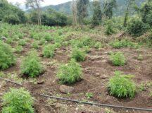 Polícia Federal erradica 20 mil pés de maconha em área indígena de Pesqueira
