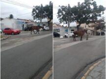 Cavalos soltos atrapalham trânsito na avenida Bom Conselho em Belo Jardim