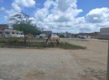 Animal solto é flagrado no bairro do São Pedro em Belo Jardim