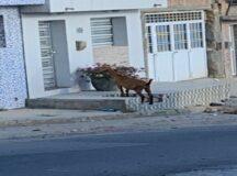 Moradora denuncia animal solto no bairro do Bom Conselho em Belo Jardim